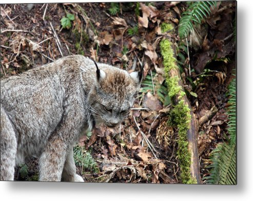 Northwest Trek Metal Print featuring the photograph Lynx - 0004 by S and S Photo