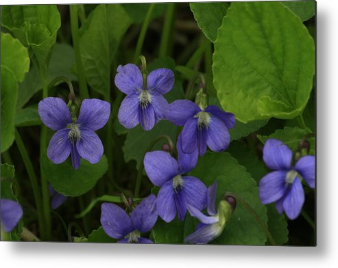 Violet Metal Print featuring the photograph Positively Purple by Alan Rutherford