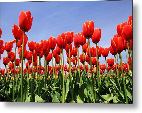 Tulips Metal Print featuring the photograph Red Tulips by Kean Poh Chua