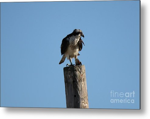 Birds Metal Print featuring the photograph The Osprey's First Catch Collection Image IV by Scenesational Photos