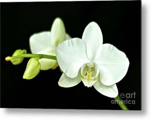 White Orchid Metal Print featuring the photograph White Orchid by Mihaela Limberea
