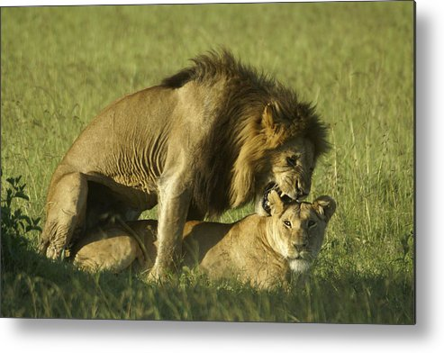 Africa Metal Print featuring the photograph Love Bite by Michele Burgess
