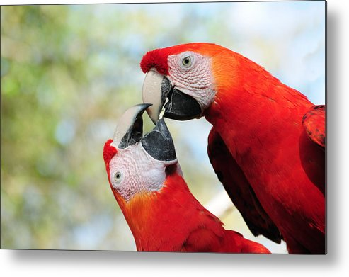 Bird Metal Print featuring the photograph Macaws by Steven Sparks
