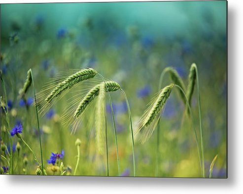 Wheat Metal Print featuring the photograph Wheat And Corn Flowers by Nailia Schwarz
