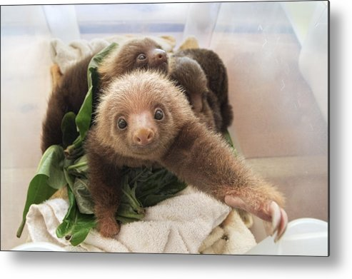 Mp Metal Print featuring the photograph Hoffmanns Two-toed Sloth Choloepus by Suzi Eszterhas