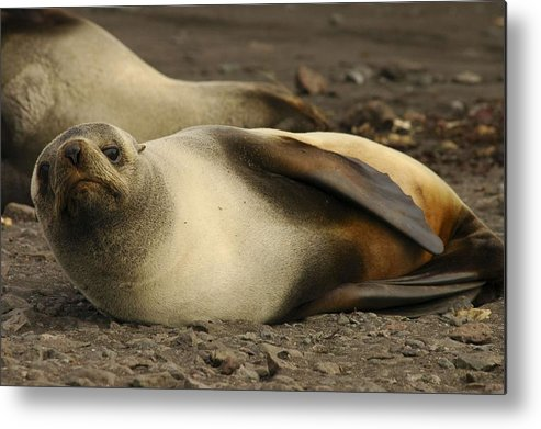 Ice Metal Print featuring the painting A Female Antarctic Fur Seal Sunning., By Noaa by Noaa