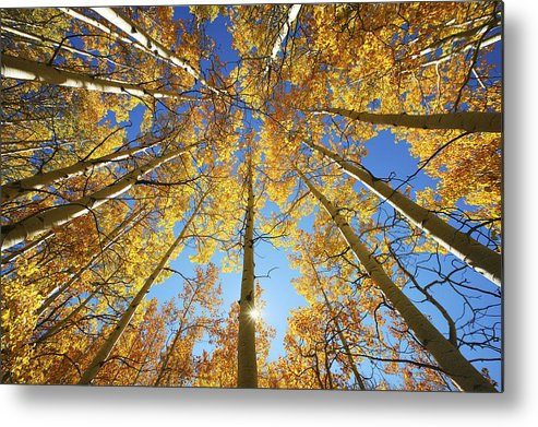 Aspen Metal Print featuring the photograph Aspen Tree Canopy 2 by Ron Dahlquist - Printscapes