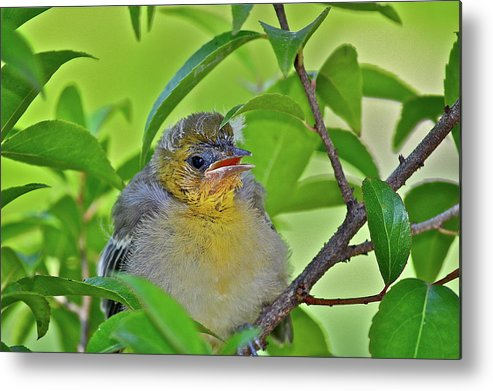 Birds Metal Print featuring the photograph Baby Oriole by Diana Hatcher