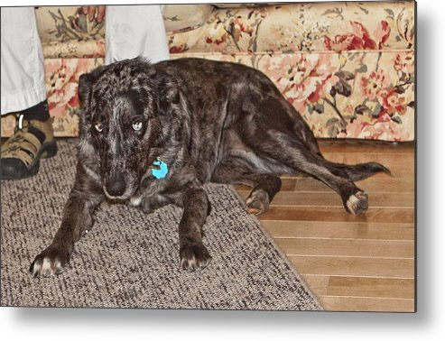 Dogs Metal Print featuring the photograph Blue by Liz Santie