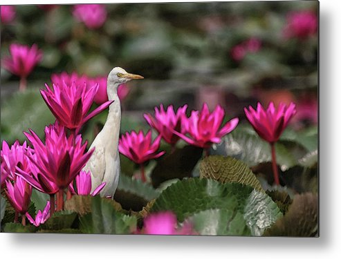 Bird Metal Print featuring the digital art Cattle Egret amongst Waterlilies by Sandeep Gangadharan