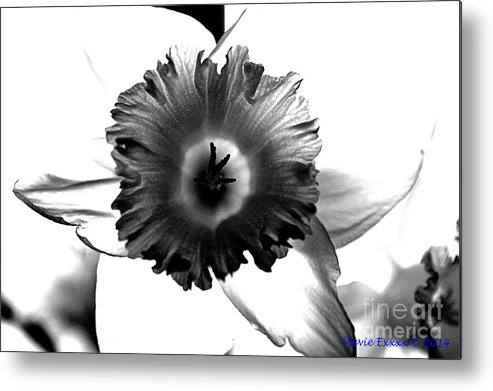 Bw black & White Modern Edge Daffodil Nature Bloom Flower Photograph Metal Print featuring the photograph ColorBlind. by Stevie Ellis