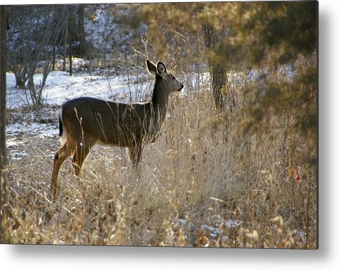 Deer Metal Print featuring the photograph Deer in Morning light by Toni Berry