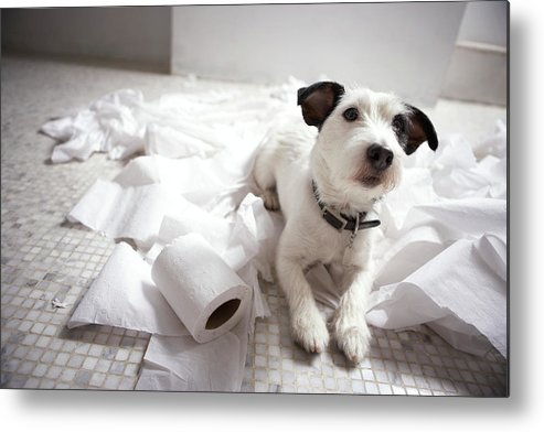 Horizontal Metal Print featuring the photograph Dog Lying On Bathroom Floor Amongst Shredded Lavatory Paper by Chris Amaral