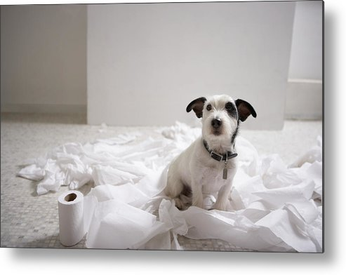 Horizontal Metal Print featuring the photograph Dog Sitting On Bathroom Floor Amongst Shredded Lavatory Paper by Chris Amaral