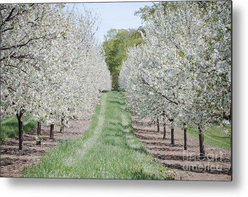 Door County Metal Print featuring the photograph Door County Cherry Blossoms by Nikki Vig