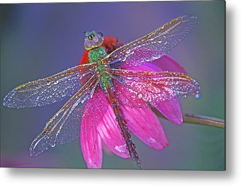 Dew Covered Dragonfly Rests On Purple Cone Flower Metal Print featuring the photograph Dreaming Dragon by Bill Morgenstern