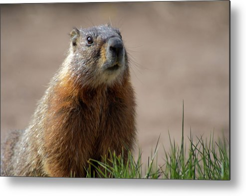 Wyoming Metal Print featuring the photograph Fearless by Frank Madia