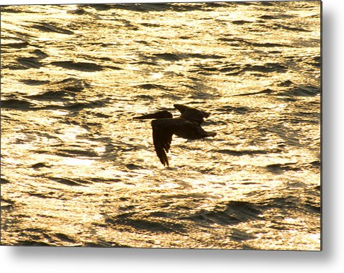 Bird Metal Print featuring the photograph Flight of the pelican by Andreas Freund