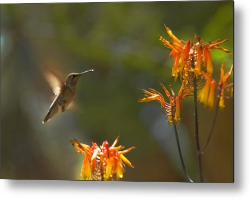 Hummingbird Metal Print featuring the photograph Food for Flyers by Richard Henne