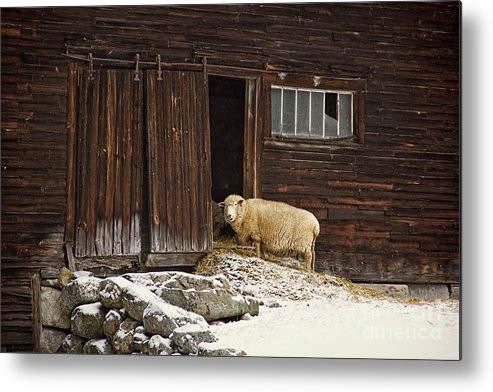 Sheep Metal Print featuring the photograph Good Morning by Diana Nault