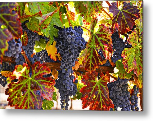 Grapes Metal Print featuring the photograph Grapes on vine in vineyards by Garry Gay