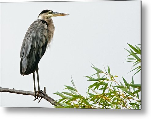 Nature Metal Print featuring the photograph Great Blue Heron in the Rain by Zayne Diamond Photographic