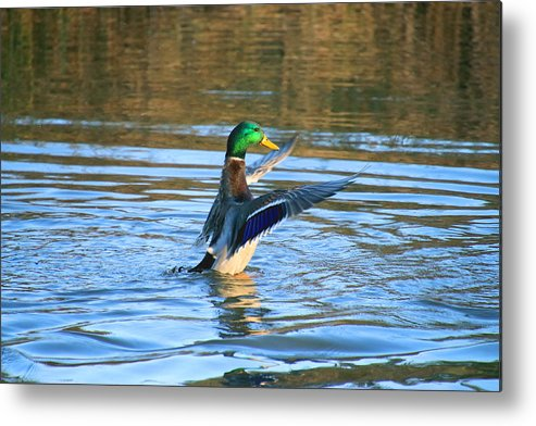 Metal Print featuring the photograph Greeney Drying Off by Tony Umana