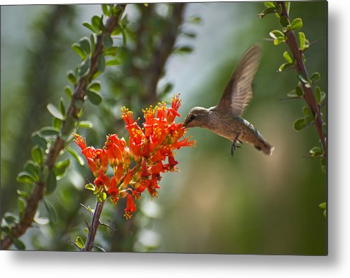 Hummingbird Metal Print featuring the photograph Hums With Its Mouth Full by Richard Henne