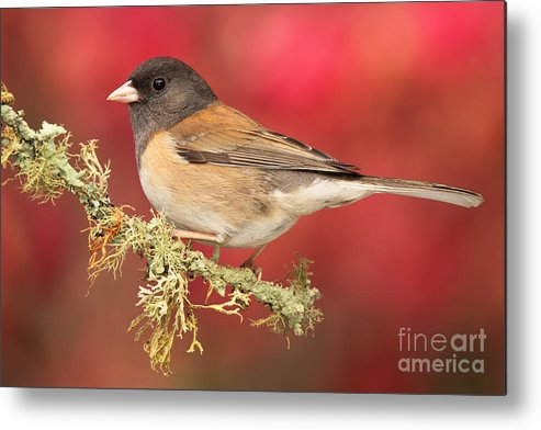 Bird Metal Print featuring the photograph Junco Against Peach Blossoms by Max Allen
