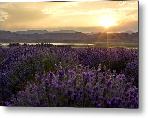 Lavender Glow Metal Print featuring the photograph Lavender Glow by Chad Dutson