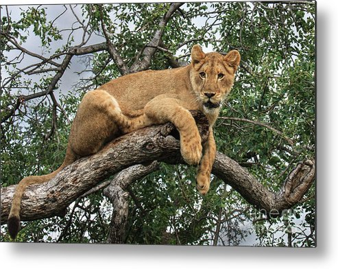 Wildlife Metal Print featuring the photograph Lion In A Tree by Jennifer Ludlum