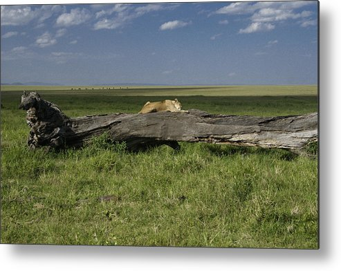 Africa Metal Print featuring the photograph Lion on a Log by Michele Burgess