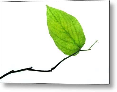 Leaf Metal Print featuring the photograph Lone Leaf by Dan Holm