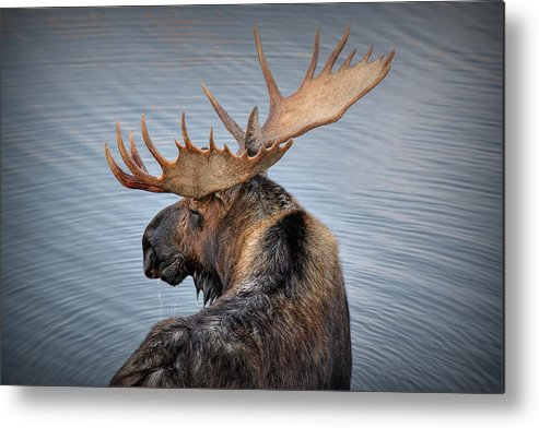 Moose Metal Print featuring the photograph Moose Drool by Ryan Smith