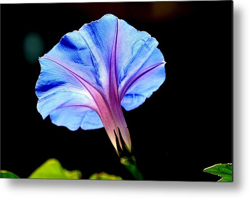 Morning Glory Metal Print featuring the photograph Morning Glory by Kerry Reed