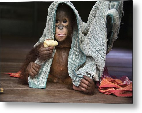 00486841 Metal Print featuring the photograph Orangutan 2yr Old Infant Holding Banana by Suzi Eszterhas