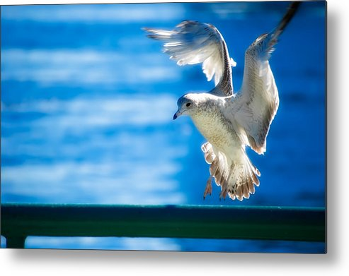 Animal Metal Print featuring the photograph Peace Gull by Rich Leighton