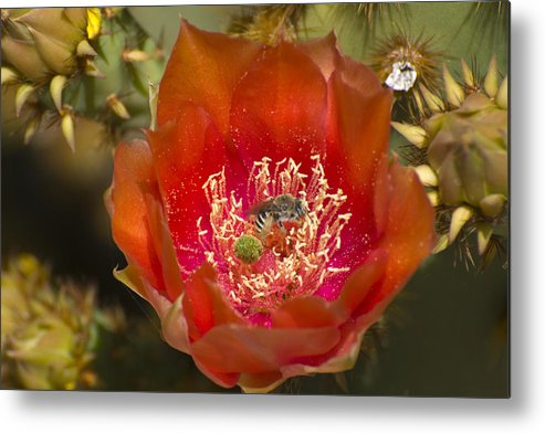 Pencil Cholla Metal Print featuring the photograph Pencil Cholla Flower with Bee by Richard Henne