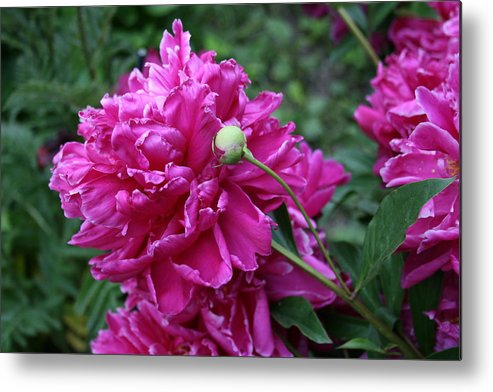 Flowers Metal Print featuring the photograph Peony Protege by Alan Rutherford