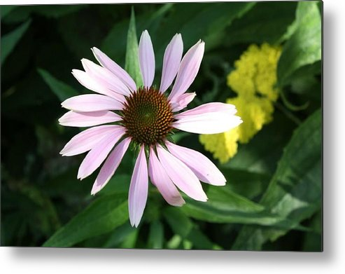 Pink Cone Flower Metal Print featuring the photograph Pink Cone Flower 2 by Debra Sandstrom