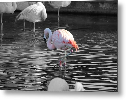 Palm Desert California Metal Print featuring the photograph Pinky by Colleen Cornelius