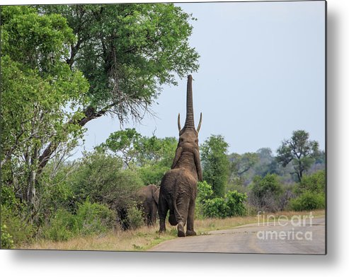 Wildlife Metal Print featuring the photograph Reach For The Stars by Jennifer Ludlum