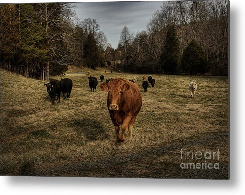 Scotopic Metal Print featuring the photograph Scotopic Vision 9 - Cows Come Home by Pete Hellmann