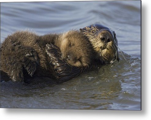 00438549 Metal Print featuring the photograph Sea Otter Mother With Pup Monterey Bay by Suzi Eszterhas