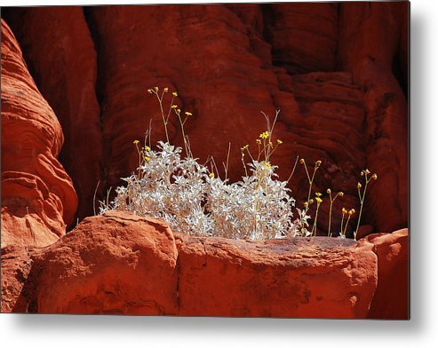 Darin Volpe Nature Metal Print featuring the photograph Signs Of Life - Valley Of Fire State Park by Darin Volpe