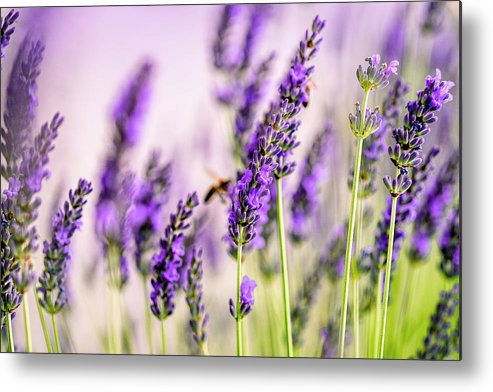 Lavender Metal Print featuring the photograph Summer Lavender by Nailia Schwarz