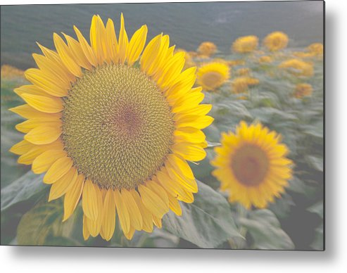Sunflower Metal Print featuring the photograph Sunflower closeup on field during sunset by Michael Goyberg