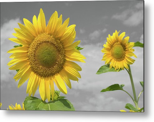 Sunflowers V Metal Print featuring the photograph Sunflowers V by Dylan Punke
