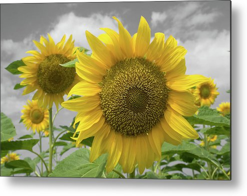 Sunflowers Iii Metal Print featuring the photograph Sunflowers III by Dylan Punke