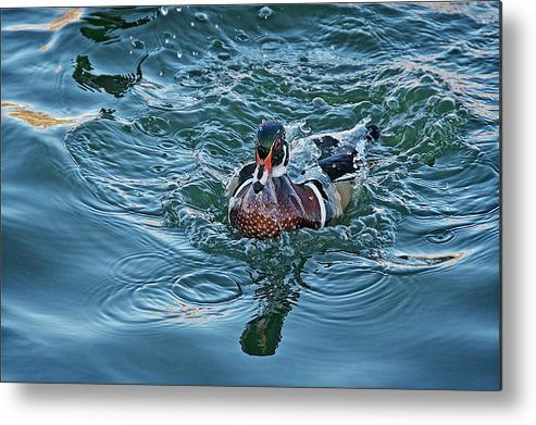 Nature Metal Print featuring the photograph Taking a Dip, Wood Duck by Zayne Diamond Photographic